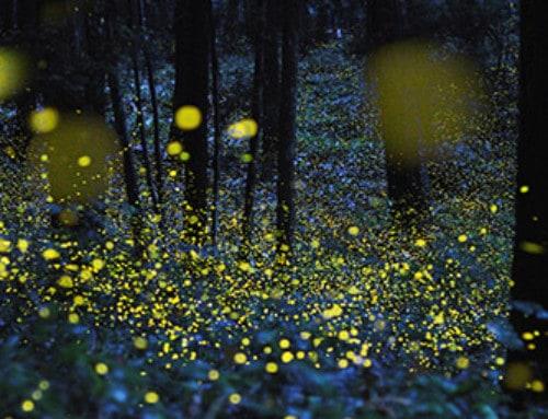 Das Glühwürmchen